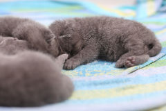 Cute British Shorthair kittens Stock Photos