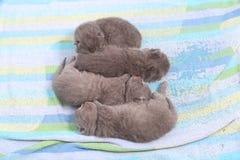 Cute British Shorthair kittens Royalty Free Stock Photography