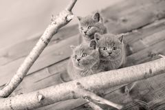 Cute kittens up on a branch. Cute British Shorthair kittens climbing on a tree, white background royalty free stock images