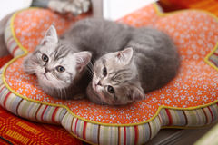 Cute British Shorthair kittens looking above Royalty Free Stock Photos