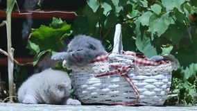 Cute British Shorthair kittens meowing outdoors stock footage