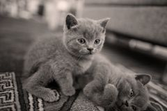 Cute British Shorthair kittens plays on the carpet. British Shorthair kittens playing in living room, on the carpet Stock Image
