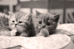 Cute British Shorthair kittens. Three British Shorthair babies lying on a pillow, close-up portrait, cute babies Royalty Free Stock Photos