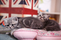 Cute British Shorthair kittens. Three British Shorthair babies lying on a pillow, close-up portrait, cute babies, Union Jack flag Royalty Free Stock Photos
