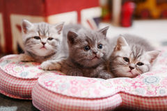 Cute British Shorthair kittens. Three British Shorthair babies lying on a pillow, close-up portrait, cut babies Stock Photos