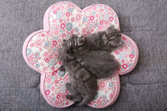 Cute British Shorthair kittens. Three British Shorthair babies lying on a pillow, close-up portrait, cut babies Stock Photography
