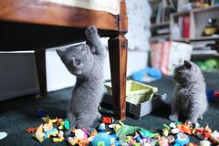 Cute British Shorthair kittens among toys. British Shorthair kittens playing with toys on the rug in living room Stock Image
