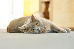 British shorthaired cat with yellow eyes lying on a blue carpet Stock Photos
