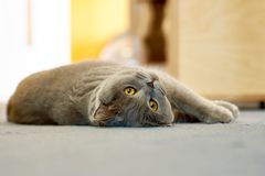 British shorthaired cat with yellow eyes lying on a blue carpet Stock Image