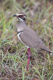 Cute bronze-winged courser standing in green grass Stock Images