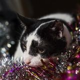 A cute, brooding black-and-white cat lies on a multicolored tins Royalty Free Stock Photos