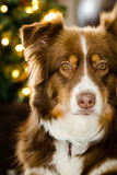 Cute brown Australian Shepherd Stock Image