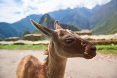 Cute brown baby lama. In Machu Picchu city. Alpaca animal close-up stock photography
