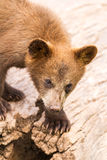 Cute brown bear cub Royalty Free Stock Images