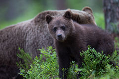 Cute Brown bear cub in Finnish forest Stock Photo