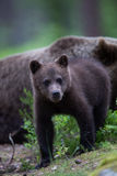 Cute Brown bear cub in Finnish forest Royalty Free Stock Photography