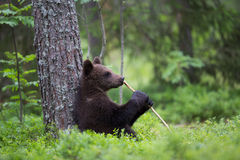 Cute Brown bear cub holding stick like microphone in Finnish forest Stock Images
