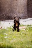 A cute brown bear cub is playing with a branch stock image