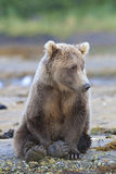 Cute brown bear resting by stream Stock Photos
