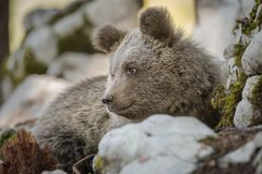 Cute brown bear sitting comfortably Royalty Free Stock Images