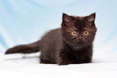 Cute brown british kitten with orange eyes. Stands on a blue background and looks into the camera, front view royalty free stock photography