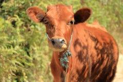 Cute brown calf cow stock image