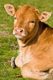 Cute brown calf in the meadow Stock Images