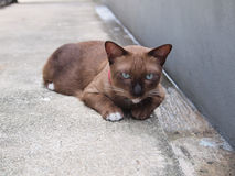 Cute brown cat lay down and staring to something Royalty Free Stock Photos