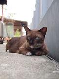 Cute brown cat lay down and staring to something Stock Images