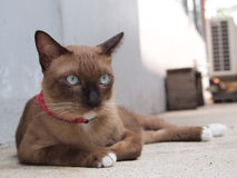 Cute brown cat lay down and staring to something Stock Photo