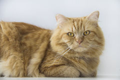 Cute brown cat pet sitting , adorable kitten looking at camera middle closeup Stock Images