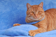 Cute brown cat on sofa Stock Image