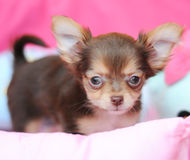 Cute brown chihuahua Stock Photography