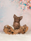 Cute brown chihuahua puppy on a flower background Royalty Free Stock Images