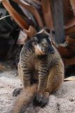 A Tired Brown Collared Lemur Sitting Down. Cute Brown Collared Lemur with a Tired Expression Stock Photos