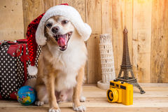 Cute brown color chihuahua dog with christmas concept ,travel st Stock Photos