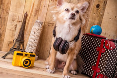 Cute brown color chihuahua dog with travel concept ,travel stuff Royalty Free Stock Photography