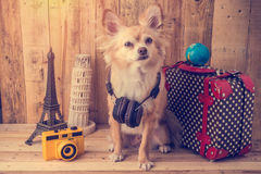 Cute brown color chihuahua dog with travel concept ,travel stuff Royalty Free Stock Images