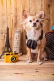 Cute brown color chihuahua dog with travel concept ,travel stuff Royalty Free Stock Photo