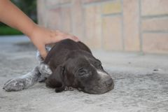 Cute brown colored pointer puppy royalty free stock photography