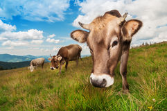 Cute brown cow Stock Photography