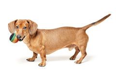 Cute brown dachshund dog with ball isolated on white. Background royalty free stock image