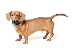Cute brown dachshund dog with ball isolated on white Royalty Free Stock Image