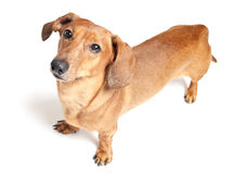 Cute brown dachshund dog isolated on white Royalty Free Stock Photo