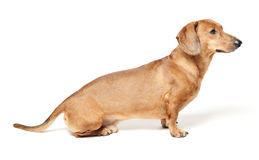 Cute brown dachshund dog isolated on white Royalty Free Stock Photos