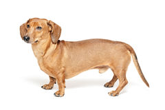 Cute brown dachshund dog isolated on white Stock Photos