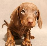 Cute brown dachshund  puppy Royalty Free Stock Photo