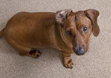 Cute brown dachshund seating down and looking up. Cute brown dachshund dog seating down at the grey carpet and looking up Royalty Free Stock Images