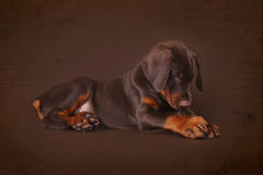 Cute brown Doberman puppy with big paws and ears lying in the St Royalty Free Stock Image