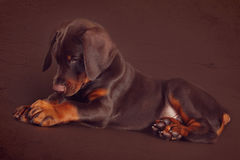 Cute brown Doberman puppy with big paws and ears lying in the St Stock Photo